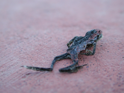 Dried Frog photo