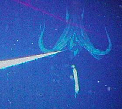 Live Giant Squid Photo 01