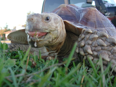 Tortoise Walking Photo 06