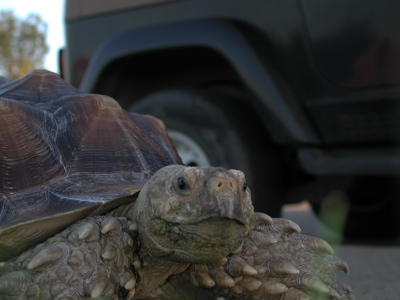 Tortoise Walking Photo 07